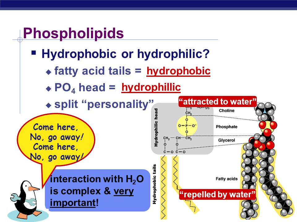 Phospholipids Hydrophobic or hydrophilic fatty acid tails =