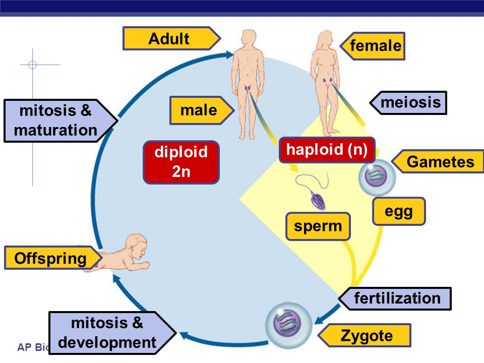 Adult female meiosis male mitosis & maturation haploid (n) diploid 2n