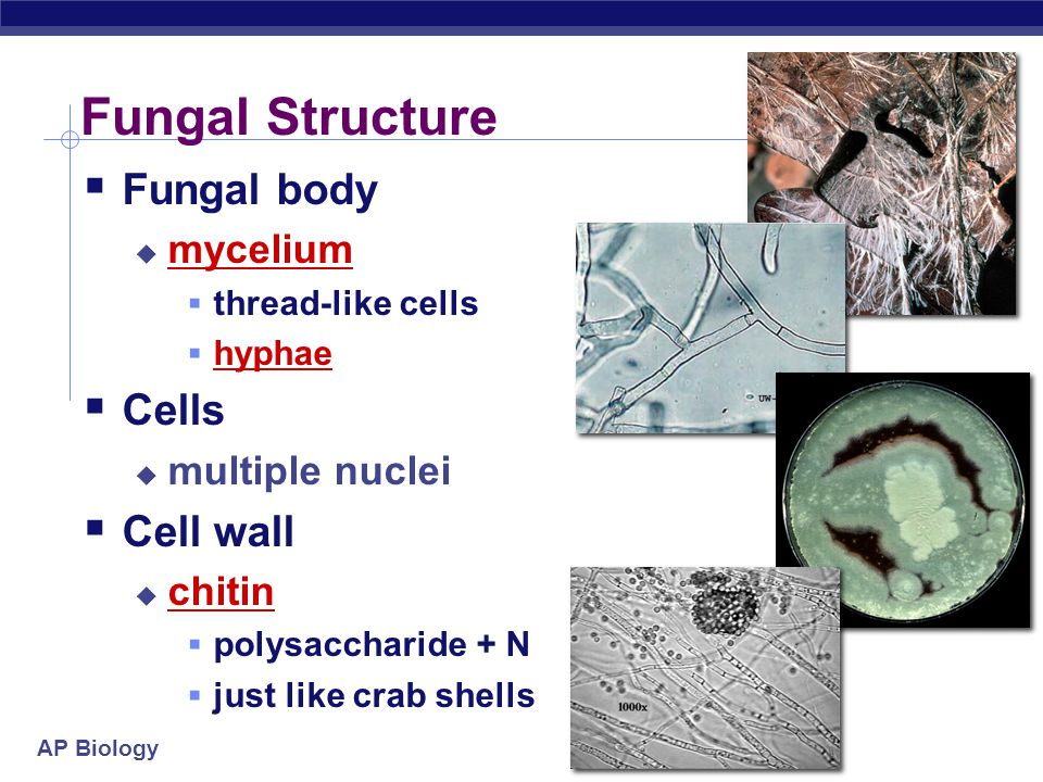 Fungal Structure Fungal body Cells Cell wall mycelium multiple nuclei