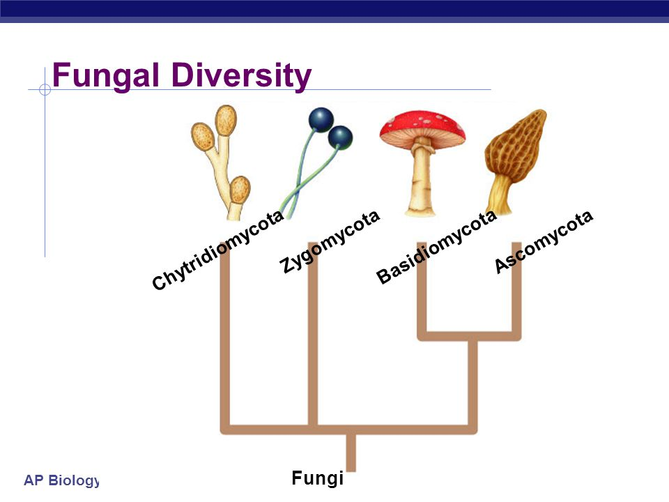 Fungal Diversity Zygomycota Ascomycota Chytridiomycota Basidiomycota