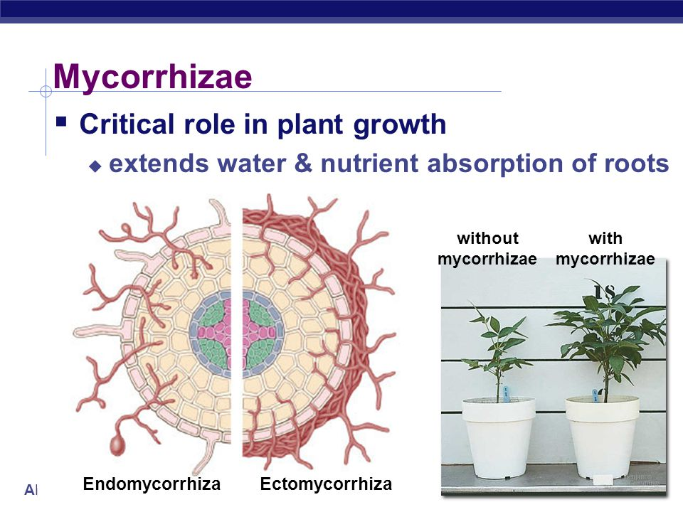 Mycorrhizae Critical role in plant growth