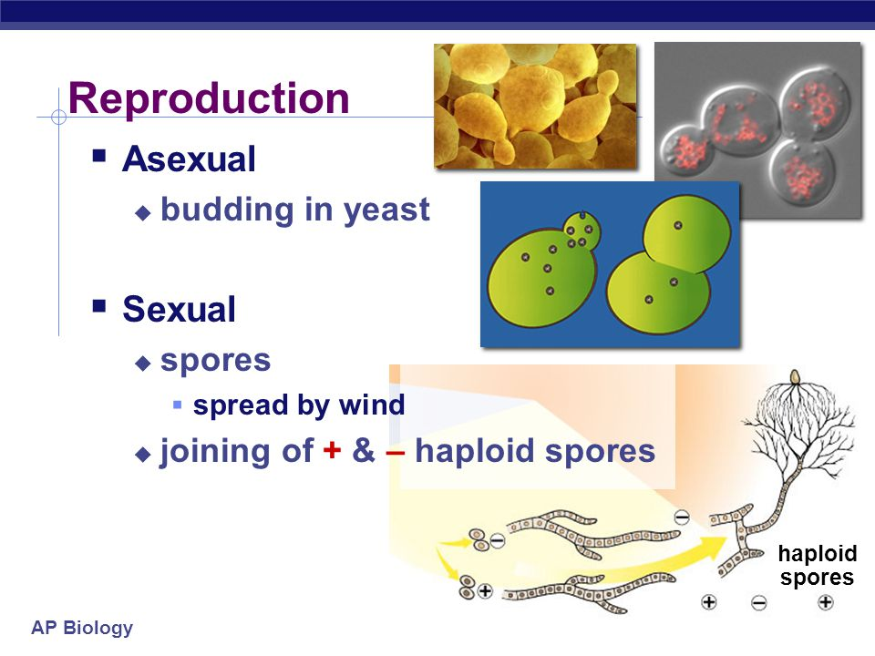 Reproduction Asexual Sexual budding in yeast spores