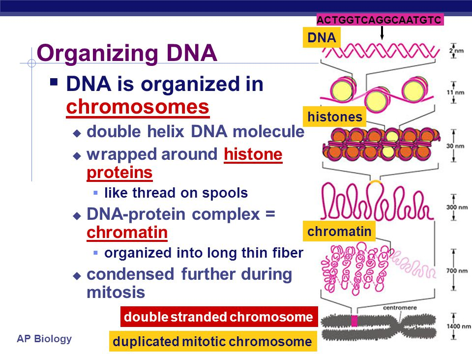 Organizing DNA DNA is organized in chromosomes