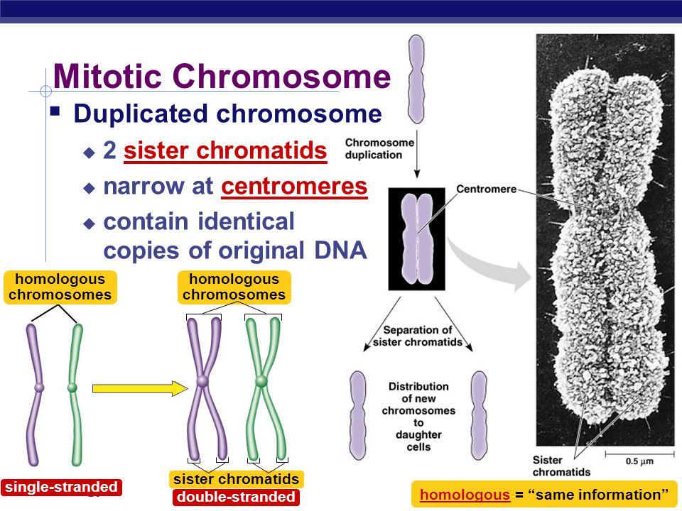 Mitotic Chromosome Duplicated chromosome 2 sister chromatids