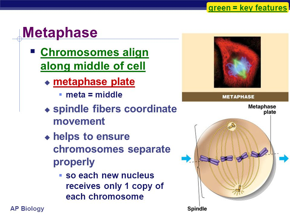Metaphase Chromosomes align along middle of cell metaphase plate