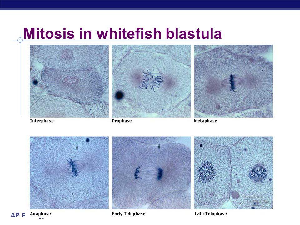 Mitosis in whitefish blastula