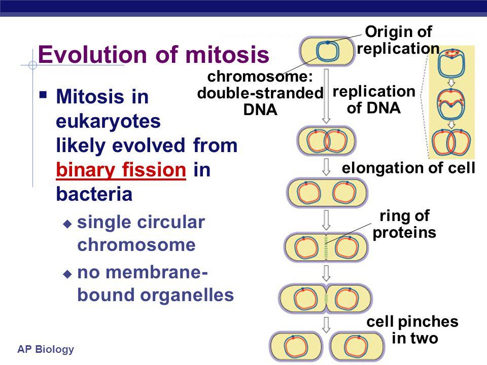 Origin of replication chromosome: double-stranded DNA. replication. of DNA. elongation of cell.
