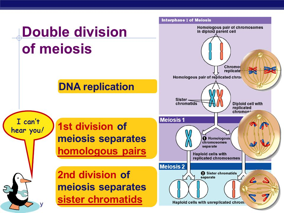 Double division of meiosis