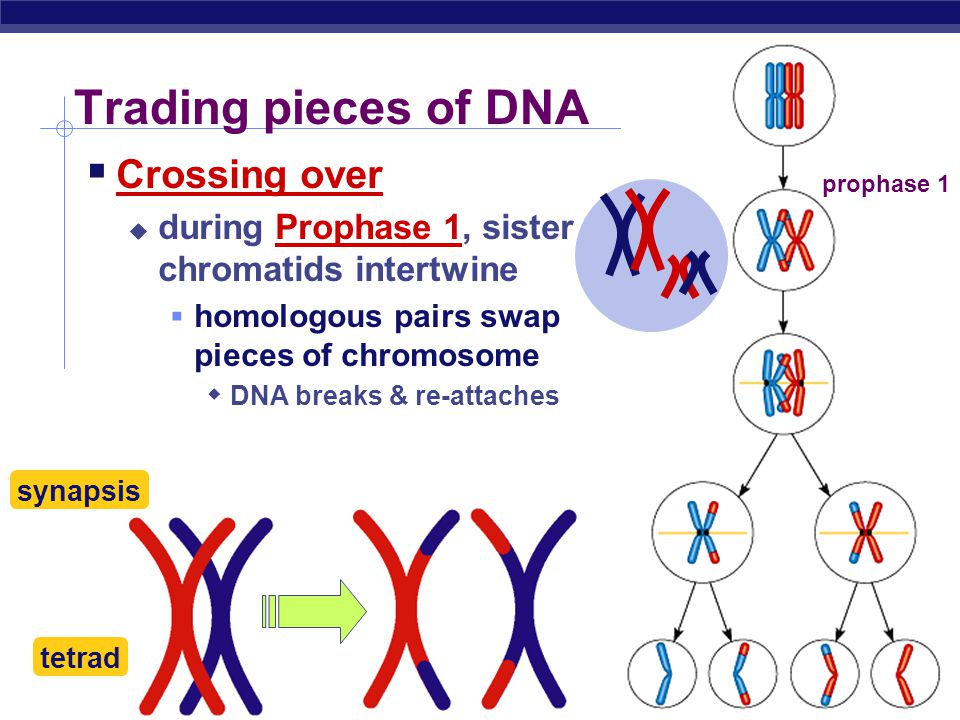 Trading pieces of DNA Crossing over