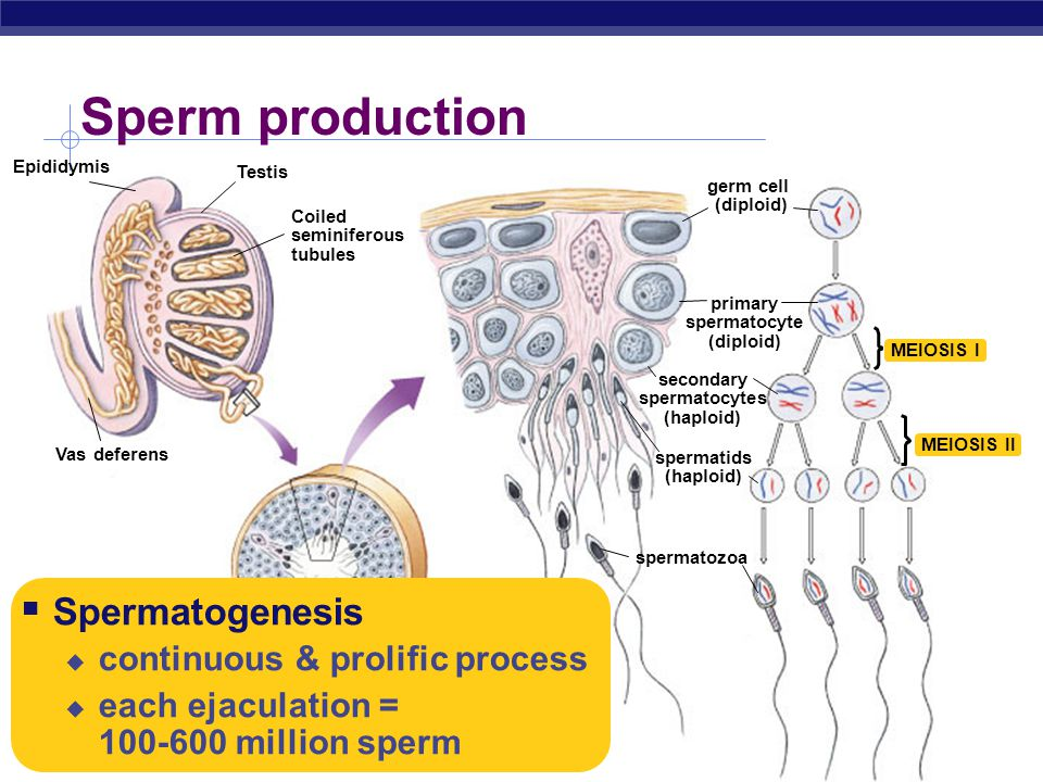 Sperm production Spermatogenesis continuous & prolific process