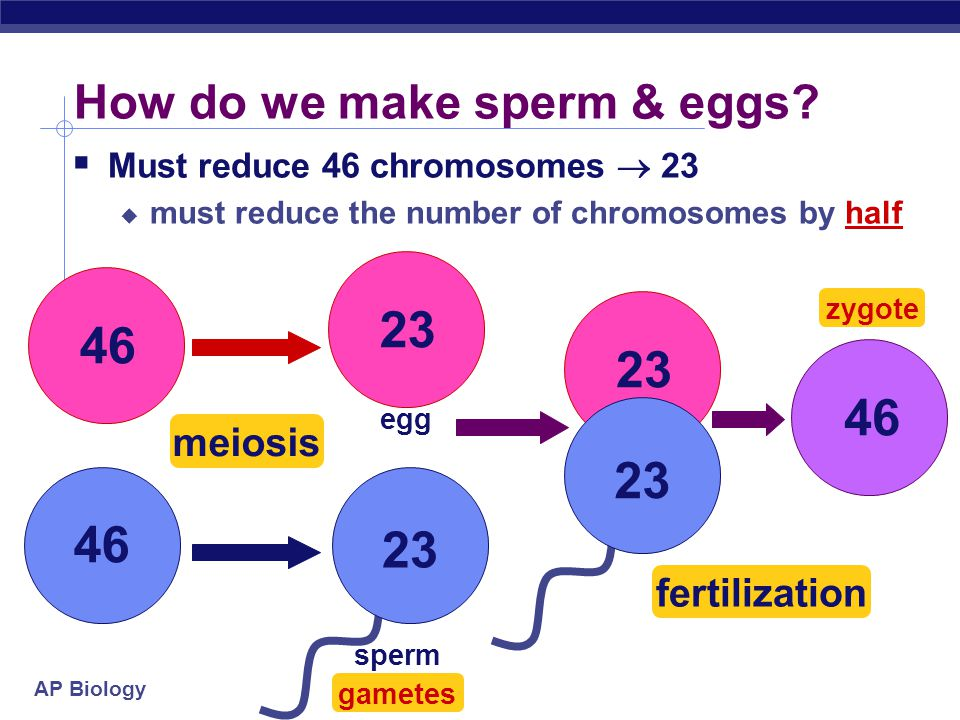 How do we make sperm & eggs