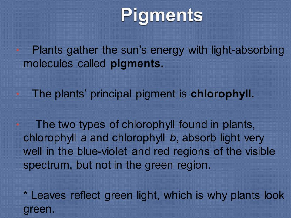 Pigments Plants gather the sun's energy with light-absorbing molecules called pigments. The plants' principal pigment is chlorophyll.