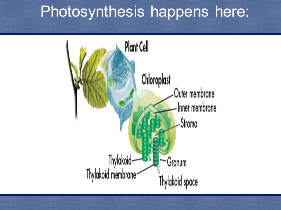 Photosynthesis happens here: