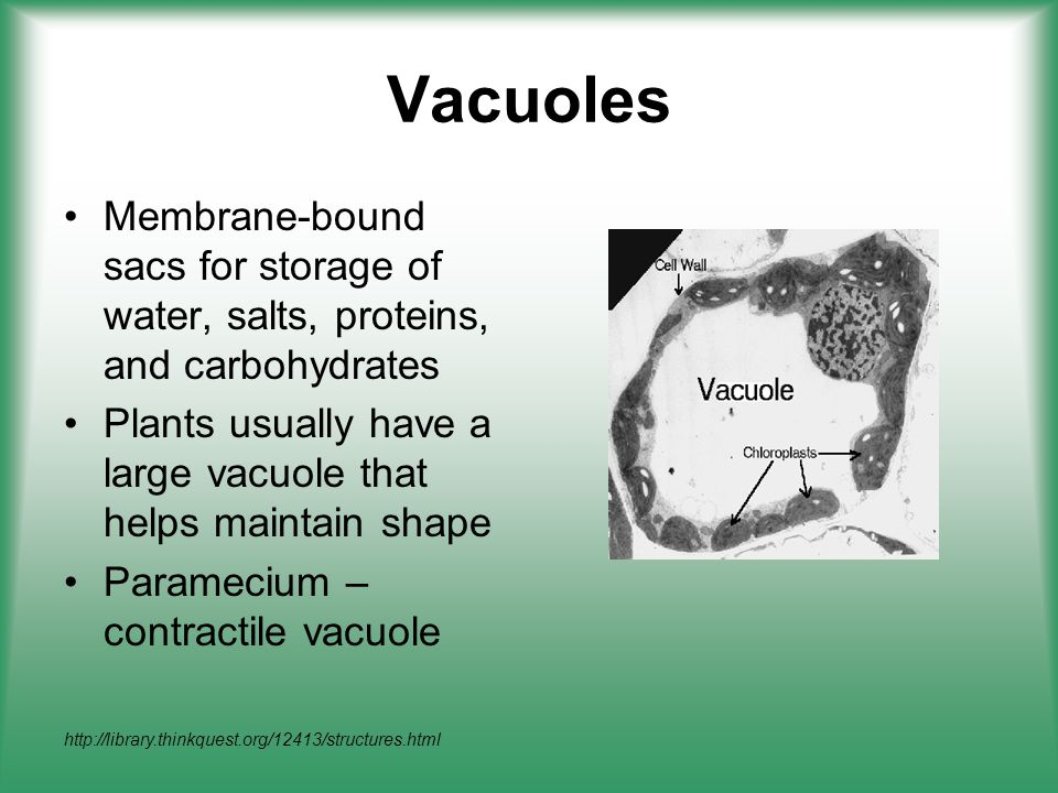 Vacuoles Membrane-bound sacs for storage of water, salts, proteins, and carbohydrates. Plants usually have a large vacuole that helps maintain shape.