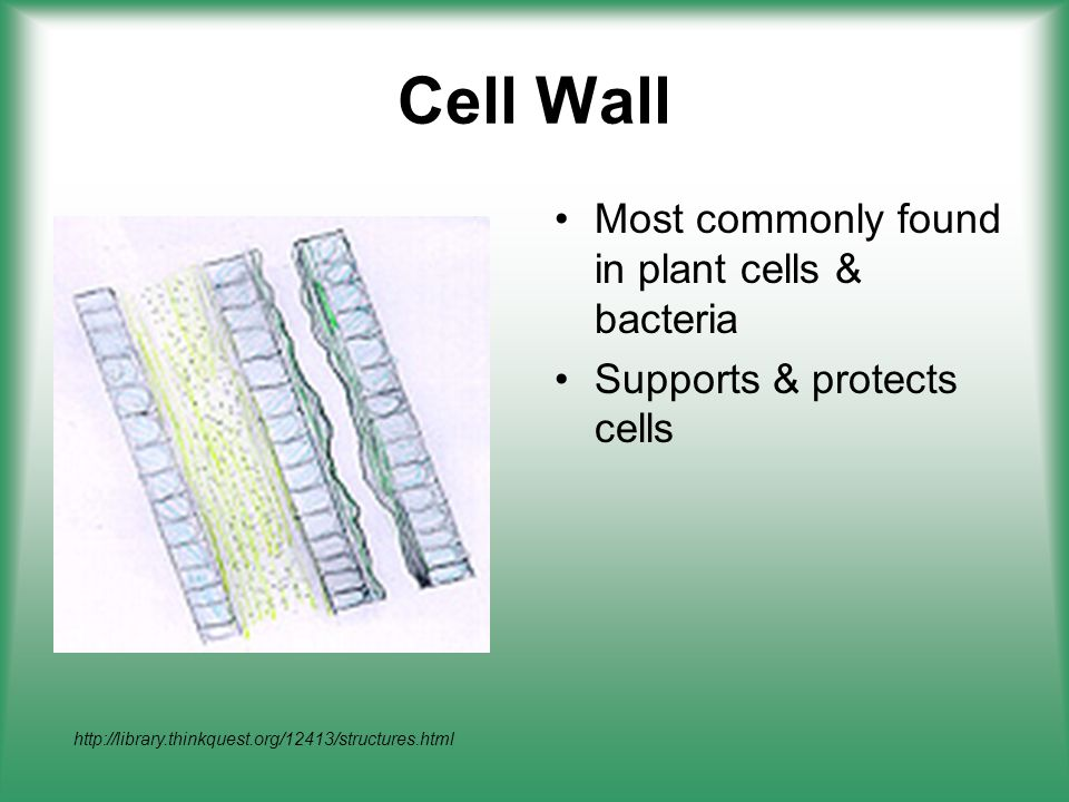Cell Wall Most commonly found in plant cells & bacteria