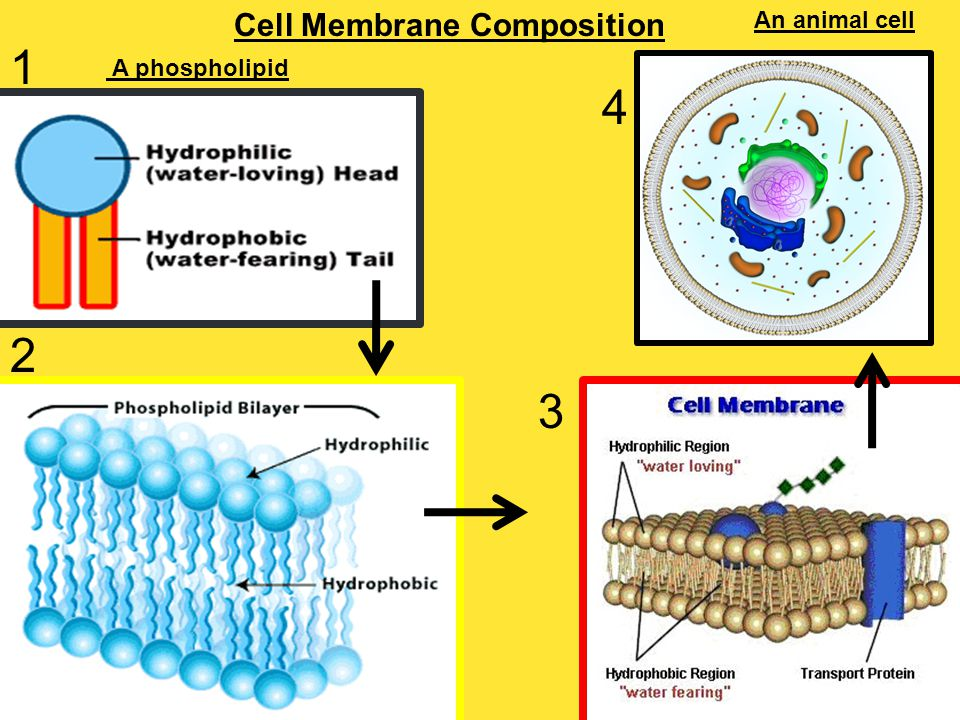 Cell Membrane Composition