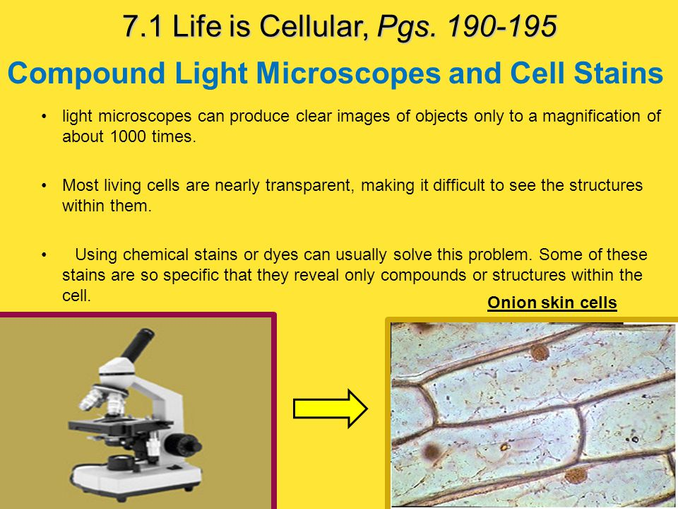Compound Light Microscopes and Cell Stains