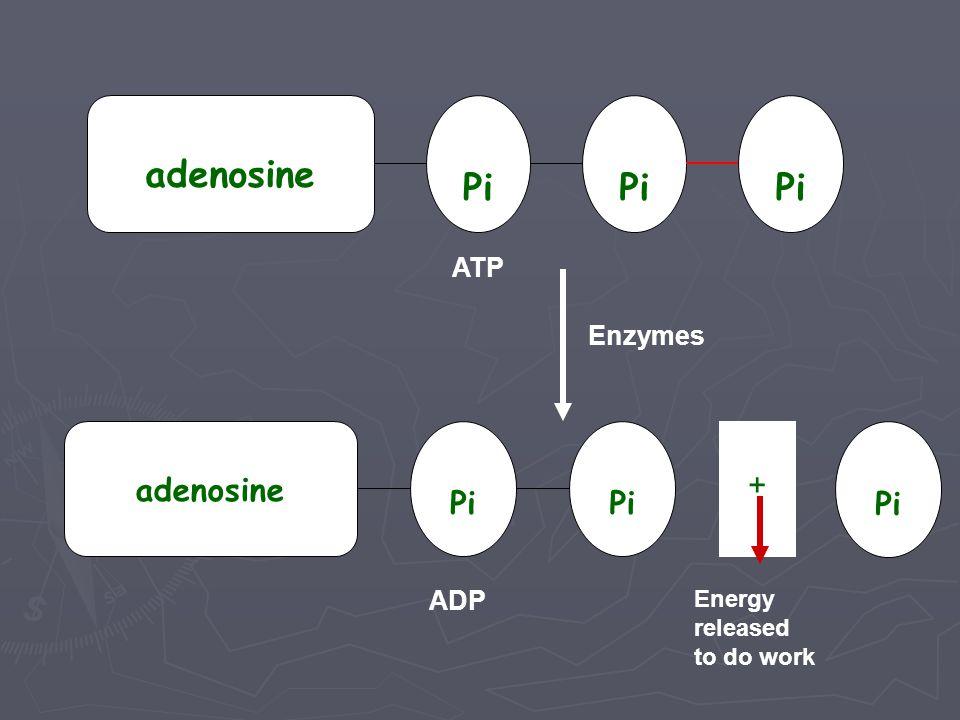 adenosine Pi ATP Enzymes Pi adenosine + ADP Energy released to do work
