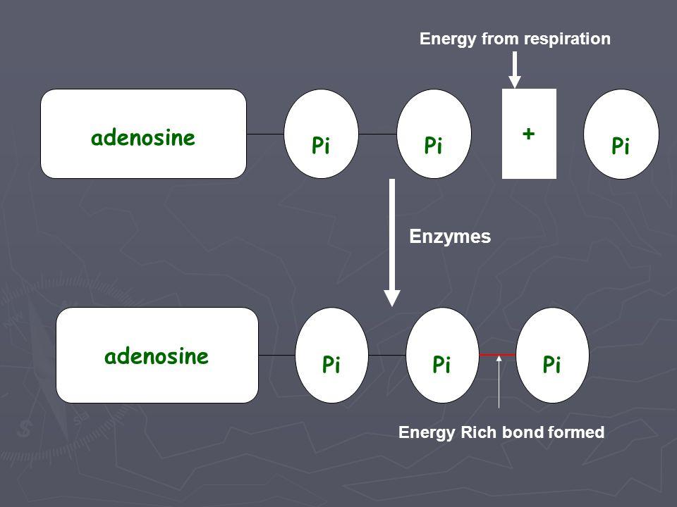 adenosine + Pi adenosine Pi Enzymes Energy from respiration