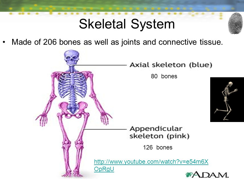 Skeletal System Made of 206 bones as well as joints and connective tissue. 80 bones. 126 bones.