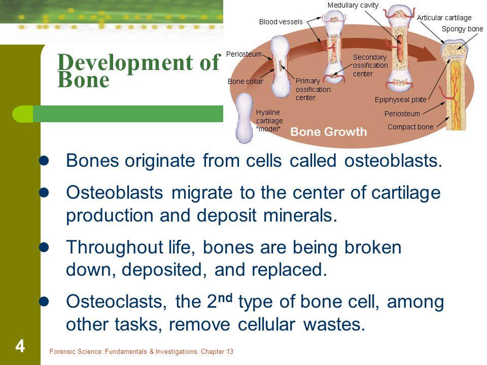 Development of Bone Bones originate from cells called osteoblasts.