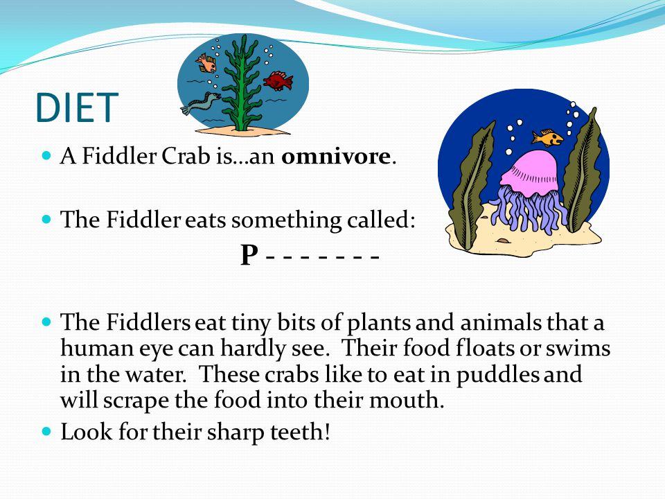 DIET A Fiddler Crab is…an omnivore. The Fiddler eats something called: