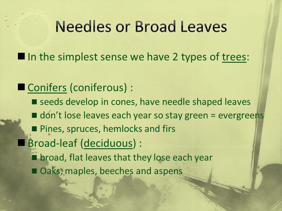 Needles or Broad Leaves