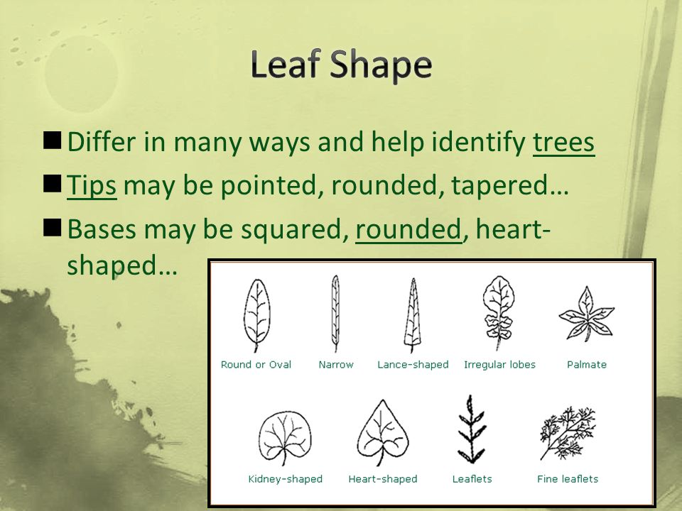 Leaf Shape Differ in many ways and help identify trees