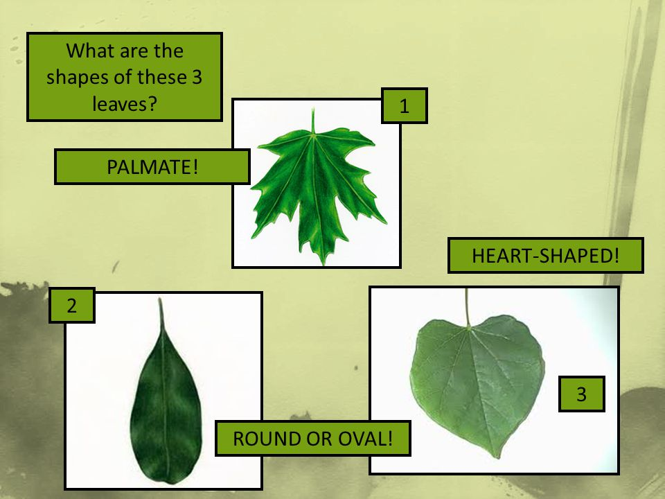 What are the shapes of these 3 leaves