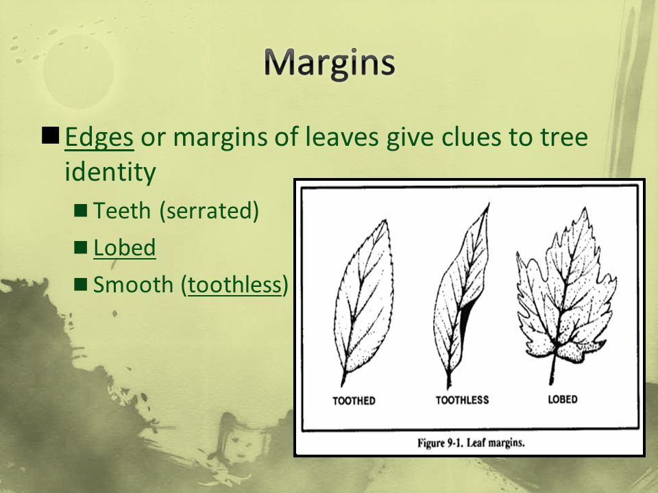 Margins Edges or margins of leaves give clues to tree identity
