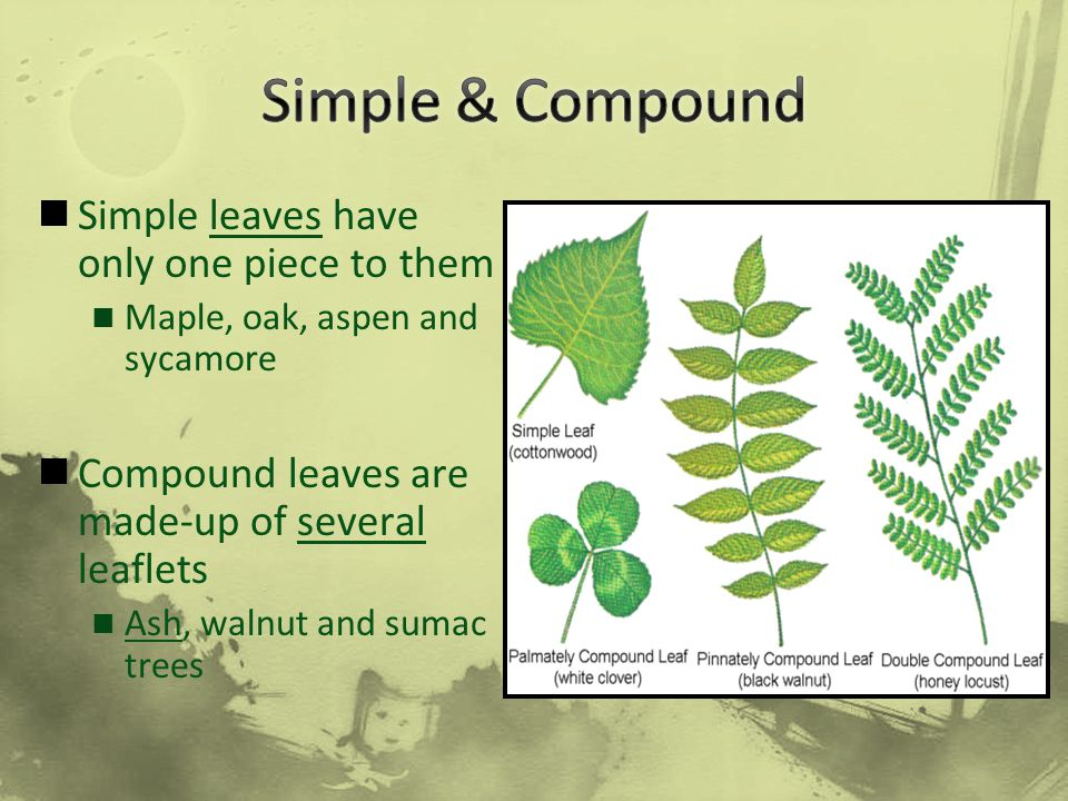 Simple & Compound Simple leaves have only one piece to them