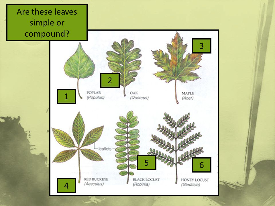Are these leaves simple or compound