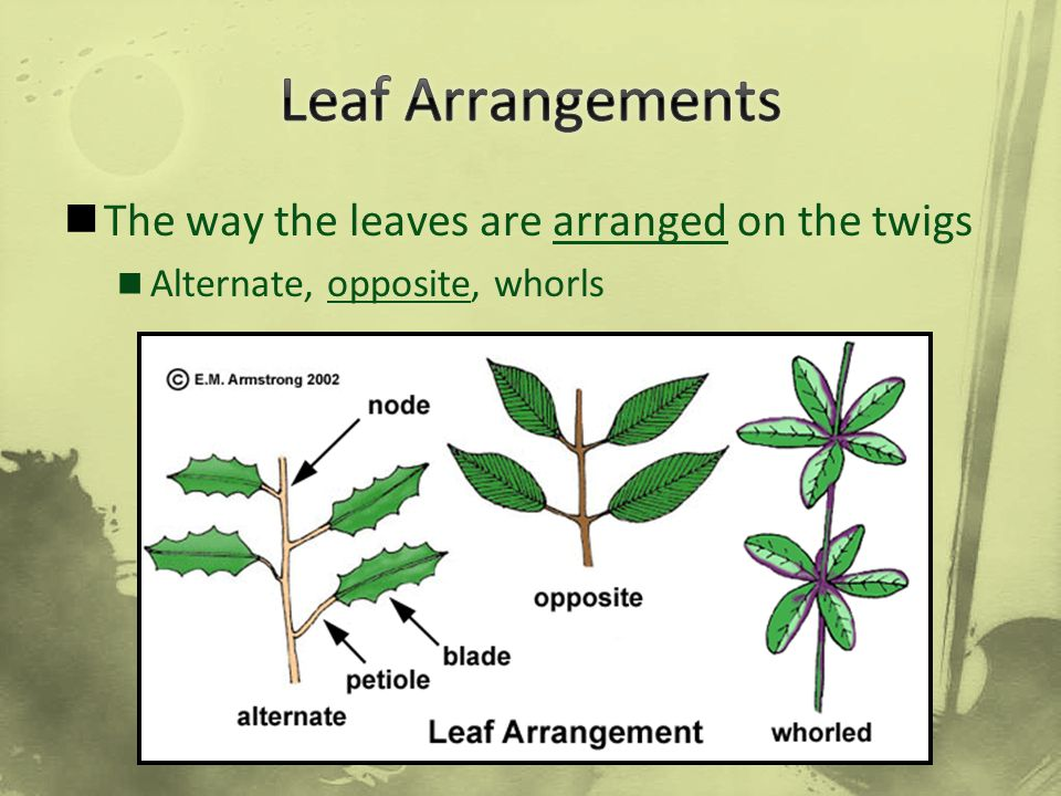 Leaf Arrangements The way the leaves are arranged on the twigs