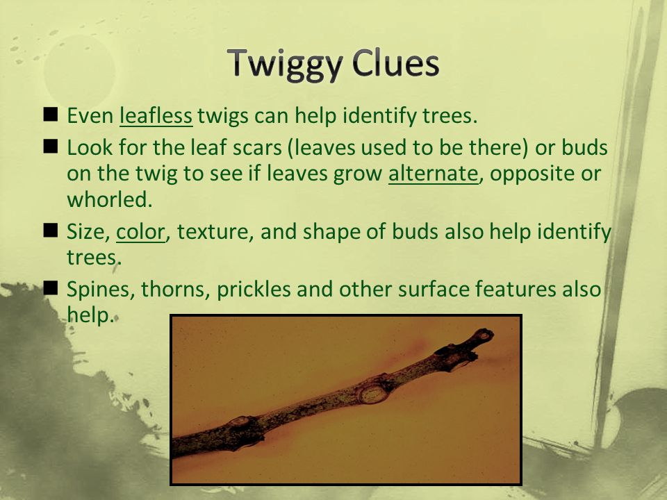 Twiggy Clues Even leafless twigs can help identify trees.