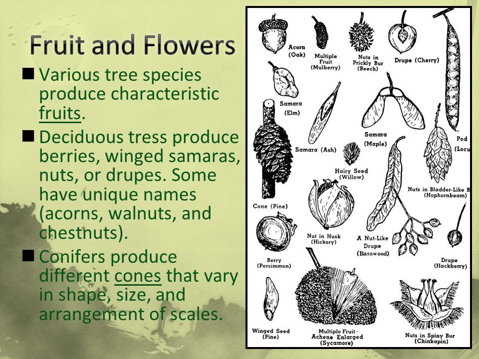 Fruit and Flowers Various tree species produce characteristic fruits.