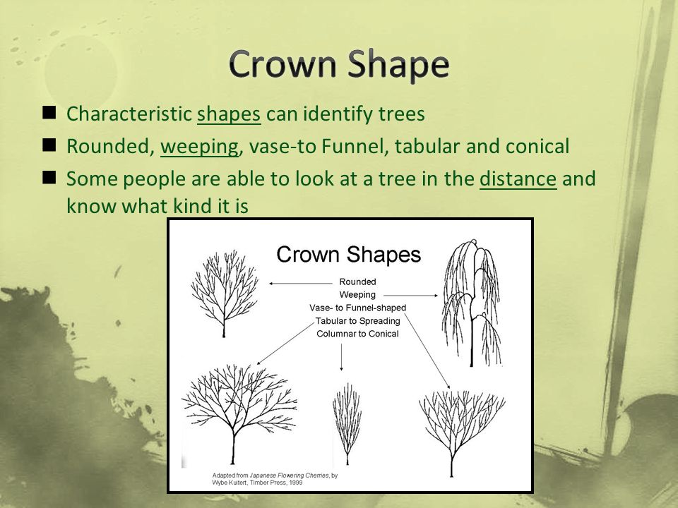 Crown Shape Characteristic shapes can identify trees