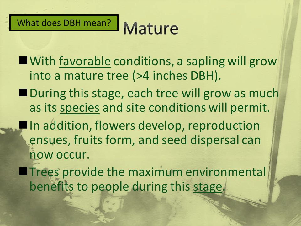 Mature What does DBH mean With favorable conditions, a sapling will grow into a mature tree (>4 inches DBH).