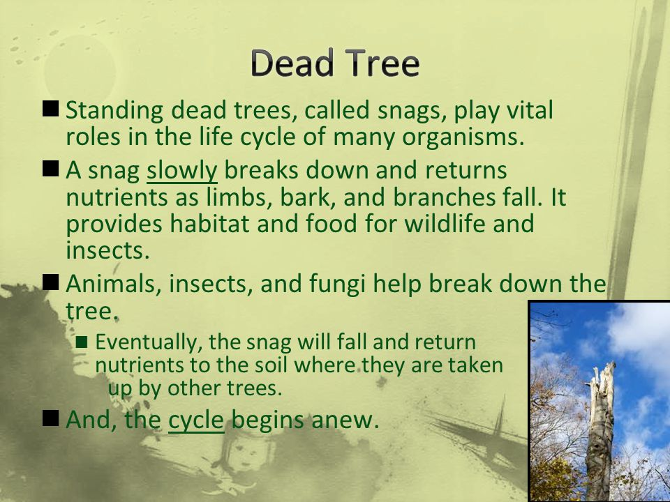 Dead Tree Standing dead trees, called snags, play vital roles in the life cycle of many organisms.