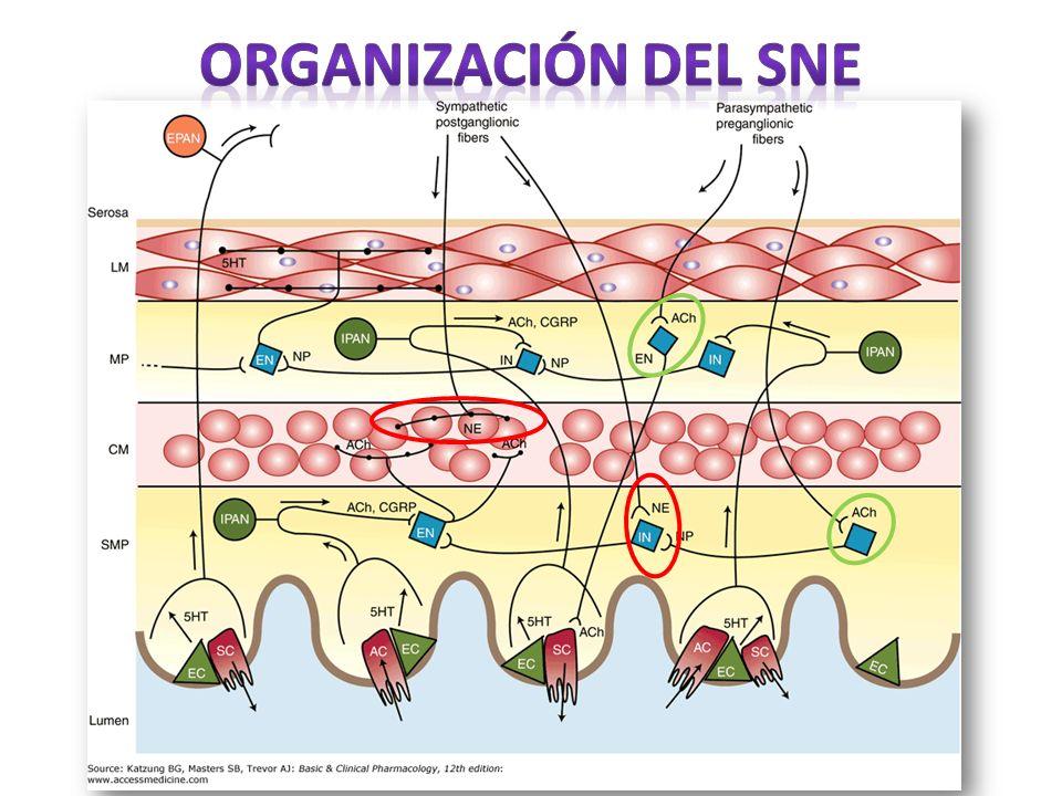 Organización del SNE