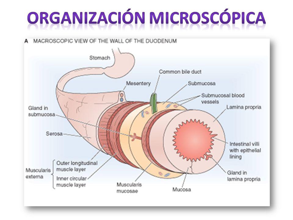 Organización microscópica