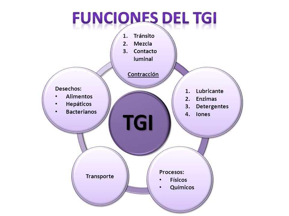 TGI Funciones del TGI Motilidad Secreción Digestión Absorción
