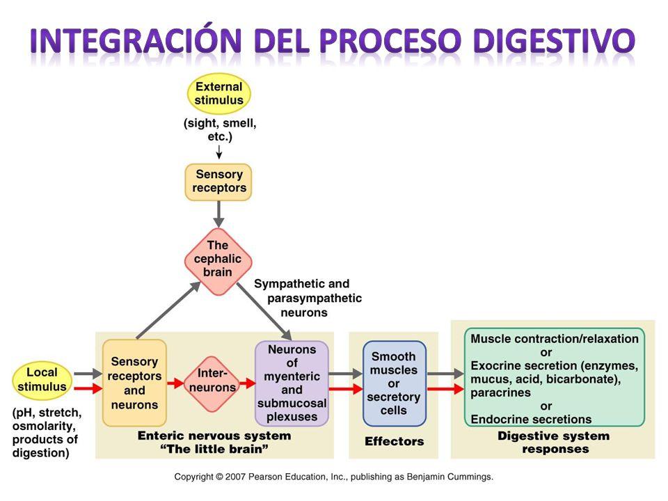 Integración del proceso digestivo