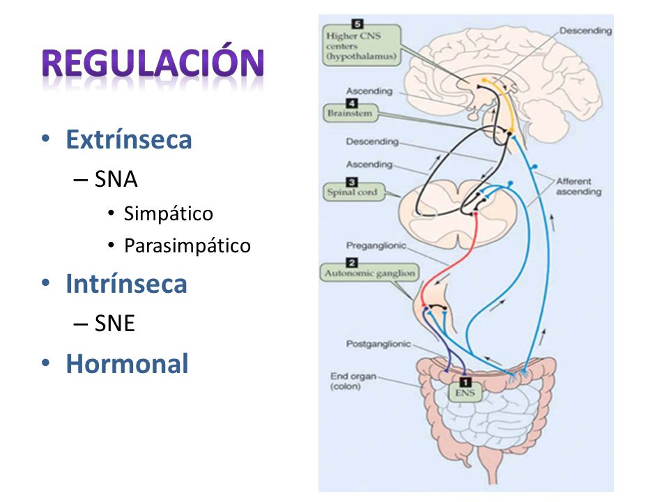Regulación Extrínseca Intrínseca Hormonal SNA SNE Simpático