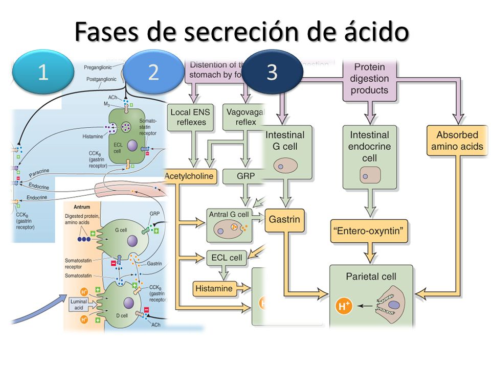 Fases de secreción de ácido