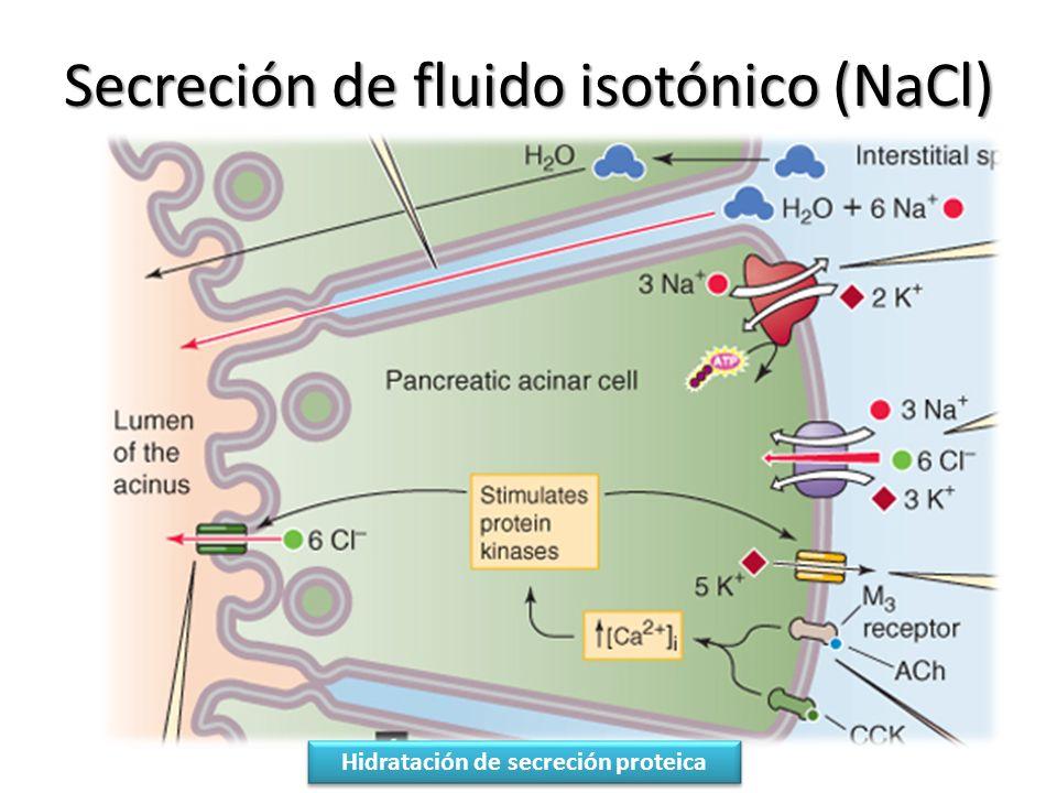 Secreción de fluido isotónico (NaCl)