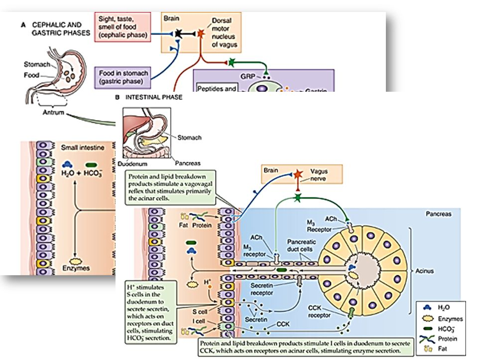 Fases de secreción de jugos pancreáticos