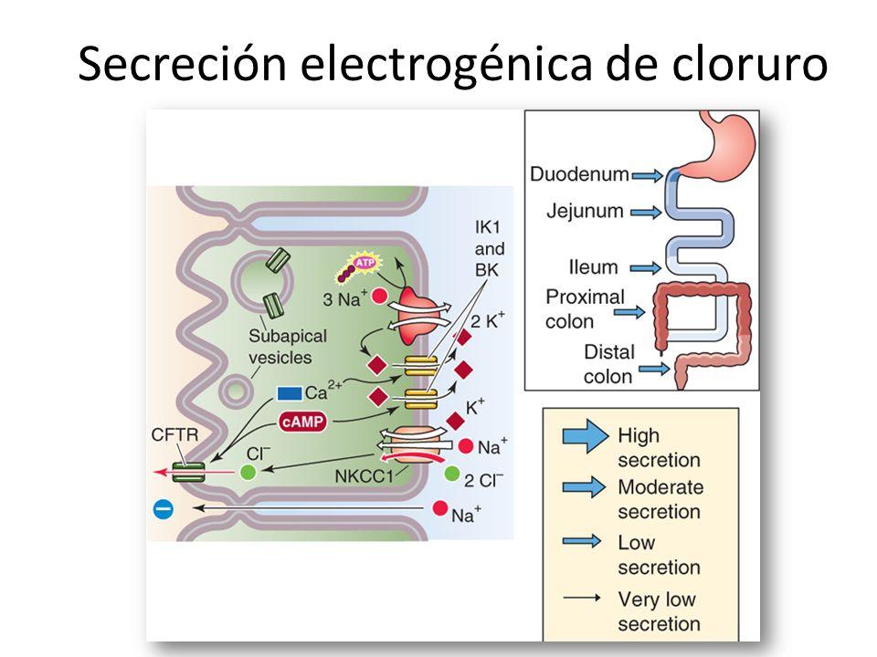 Secreción electrogénica de cloruro
