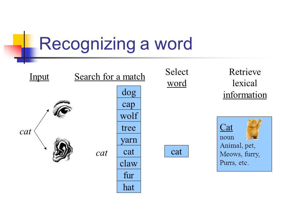 Recognizing a word Select word cat Retrieve lexical information Cat