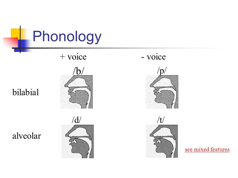Phonology /b/ + voice - voice /p/ bilabial /d/ /t/ alveolar