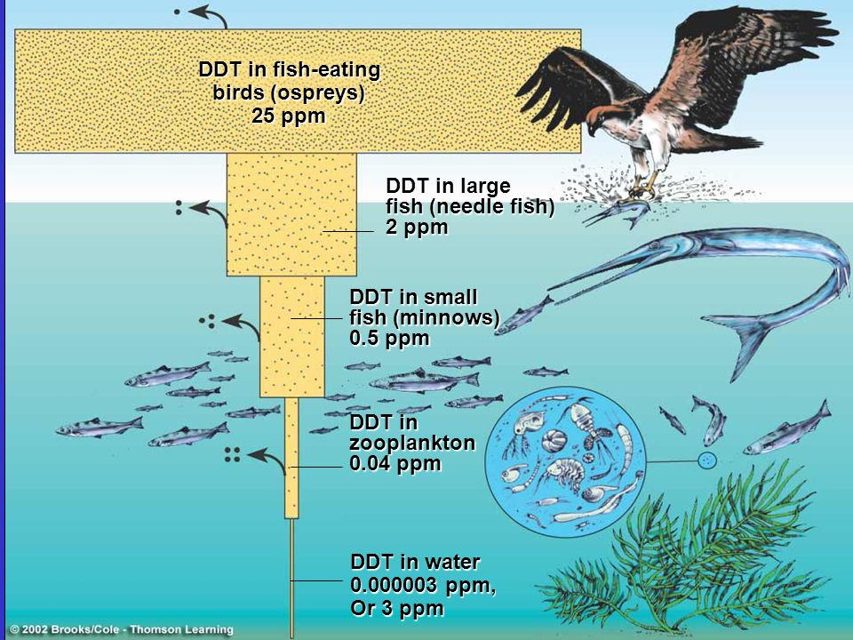 DDT in fish-eating birds (ospreys) 25 ppm. DDT in large. fish (needle fish) 2 ppm. DDT in small.